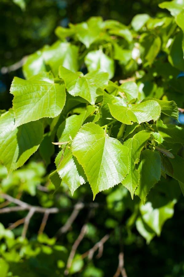 Nuove foglie verdi della fine del tiglio europeo su fotografie stock