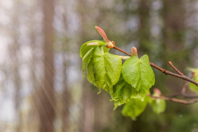 Nuove foglie verdi sul ramo della molla fotografie stock