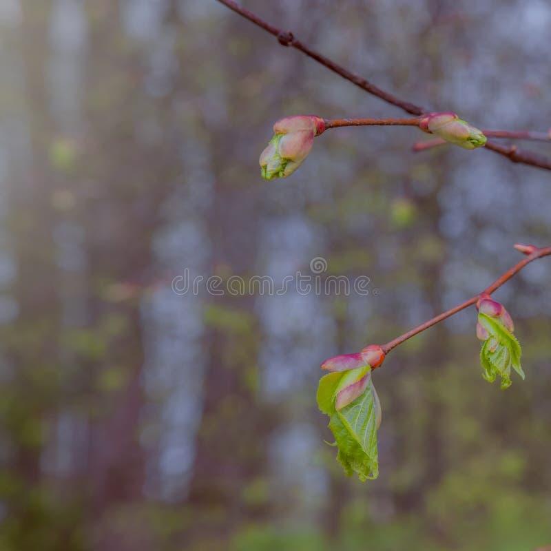 Nuove foglie verdi sul ramo della molla immagine stock