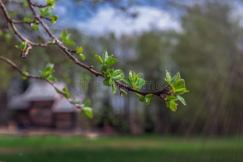 Nuove foglie verdi sul ramo della molla immagine stock libera da diritti
