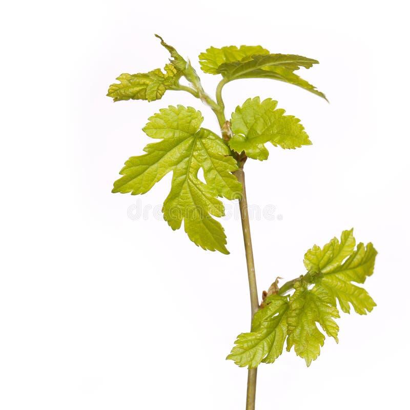 Nuove foglie verdi sul ramo isolato. Primavera fotografia stock libera da diritti
