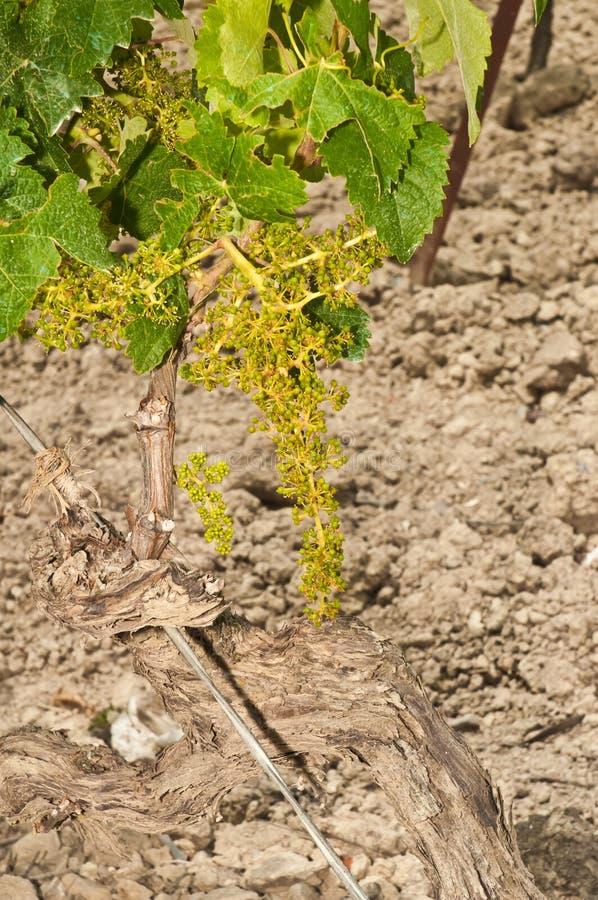 Nuovi mazzi dell'uva sulla vite di trenta anni immagine stock libera da diritti
