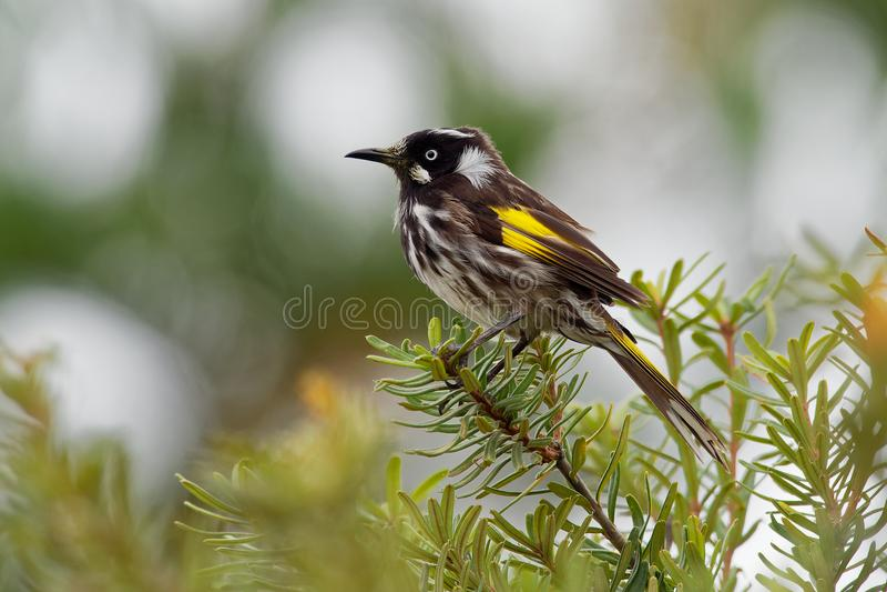 Nuovi novaehollandiae di Phylidonyris - di Holland Honeyeater - uccello australiano con colore giallo nelle ali L'Australia, Tasm fotografia stock libera da diritti