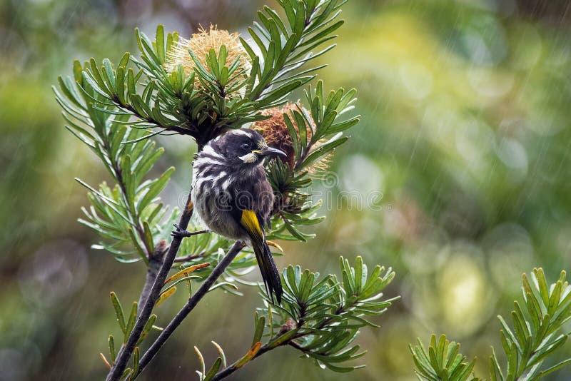 Nuovi novaehollandiae di Phylidonyris - di Holland Honeyeater - uccello australiano con colore giallo nelle ali L'Australia, Tasm immagini stock