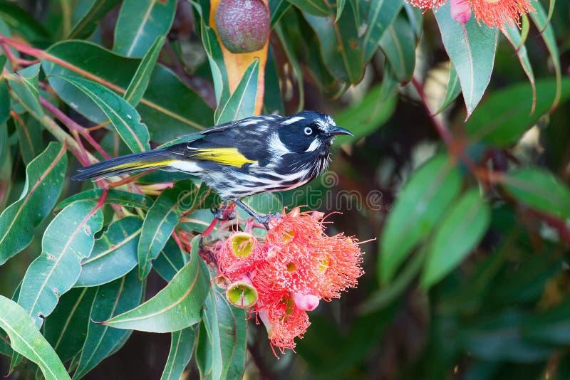 Nuovi novaehollandiae di Phylidonyris - di Holland Honeyeater - uccello australiano con colore giallo nelle ali L'Australia, Tasm fotografia stock