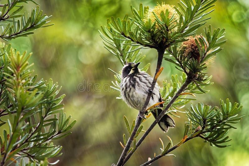 Nuovi novaehollandiae di Phylidonyris - di Holland Honeyeater - uccello australiano con colore giallo nelle ali L'Australia, Tasm fotografie stock libere da diritti