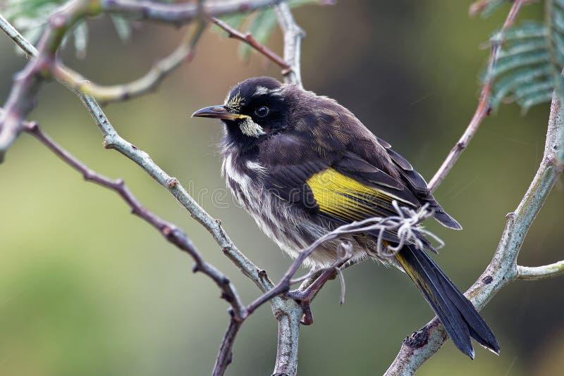 Nuovi novaehollandiae di Phylidonyris - di Holland Honeyeater - uccello australiano con colore giallo nelle ali L'Australia, Tasm immagini stock libere da diritti
