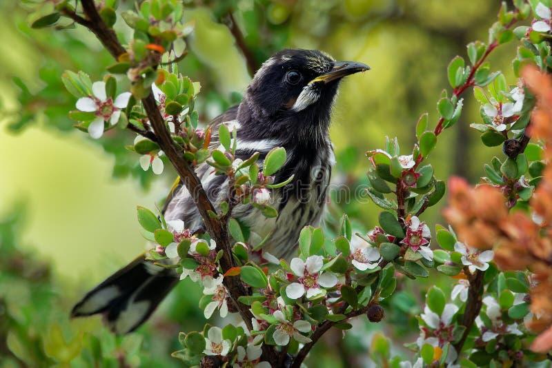 Nuovi novaehollandiae di Phylidonyris - di Holland Honeyeater - uccello australiano con colore giallo nelle ali L'Australia, Tasm immagine stock libera da diritti