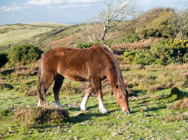 Nuovo cavallino più forrest fotografie stock libere da diritti