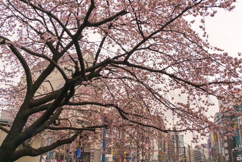 Nuovo fiore di ciliegia con le costruzioni distanti della città dietro, in primavera in anticipo, Tokyo, Giappone immagine stock