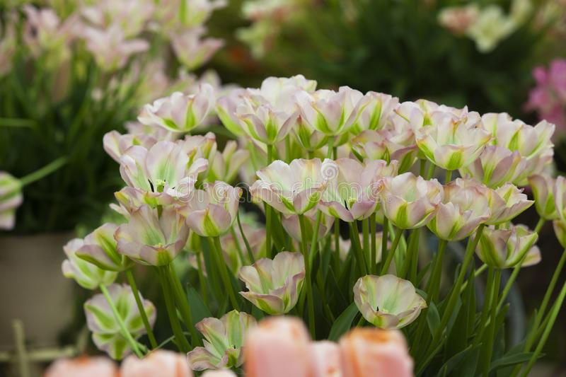 Nuovo gene dei tulipani nel Regno Unito fotografia stock libera da diritti