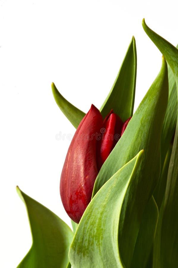 Nuovo germoglio del tulipano della primavera rossa fotografie stock