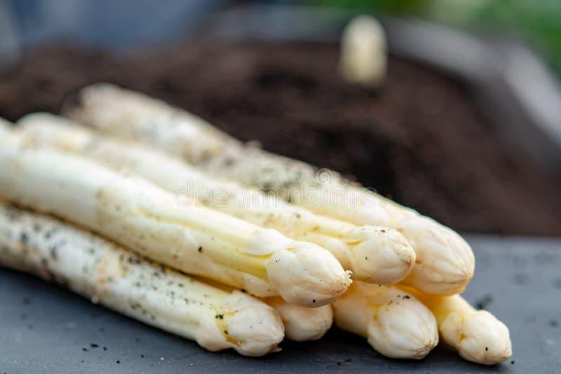 Nuovo raccolto di asparago bianco di verdure nella stagione primaverile, testa bianca di asparago che cresce dalla terra sull'azi immagini stock