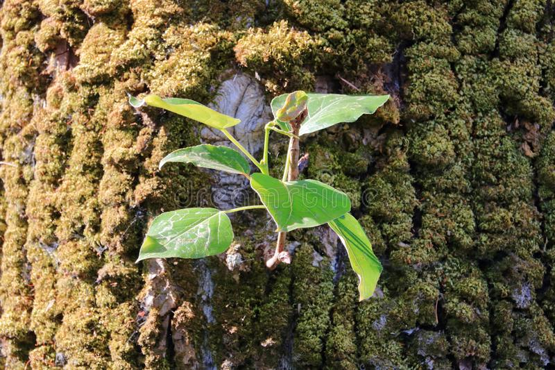 Nuovo ramo su un vecchio albero immagini stock