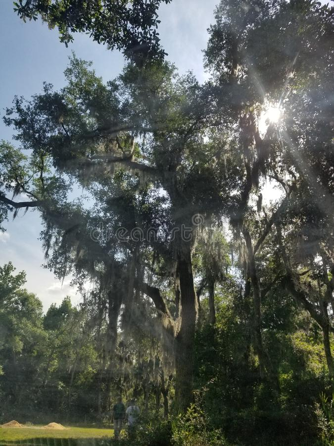 Nuovo Smyrna Florida Live Oak Tree fotografie stock libere da diritti