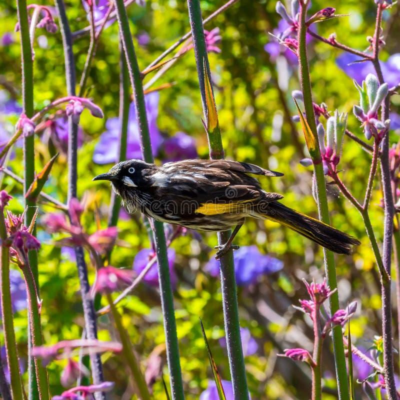 Nuovo uccello del honeyeater dell'Olanda e bei fiori immagine stock libera da diritti