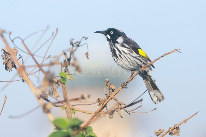 Nuovo uccello dell'Olanda Honeyeater sulla perchia fotografia stock libera da diritti