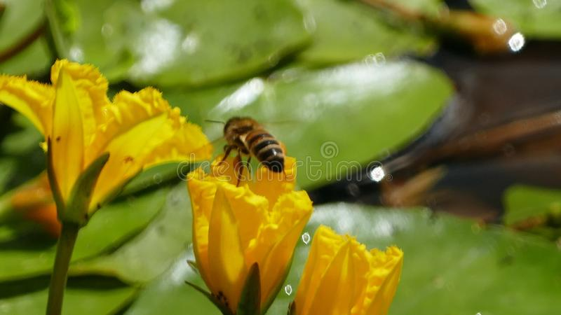 Nuphar Lutea or yellow water lilies with wasp landing and splashing water droplets. Nuphar Lutea water lilies with brandy bottle yellow flower with a stock photo