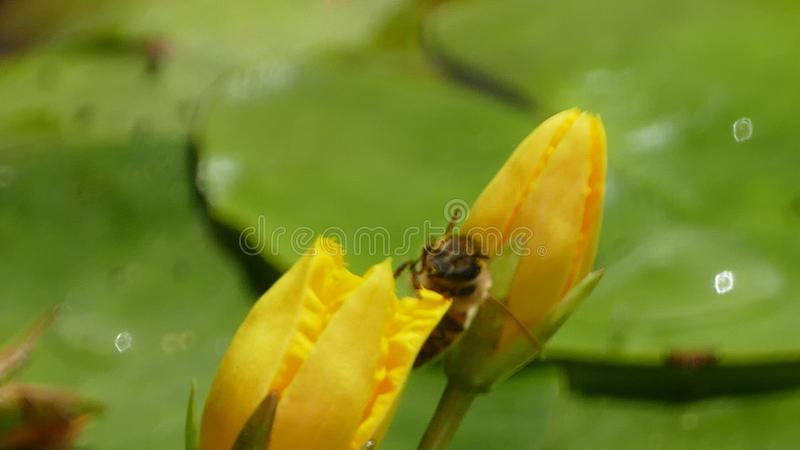 Nuphar Lutea or yellow water lilies with wasp landing and splashing water droplets. Nuphar Lutea water lilies with brandy bottle yellow flower with a royalty free stock images