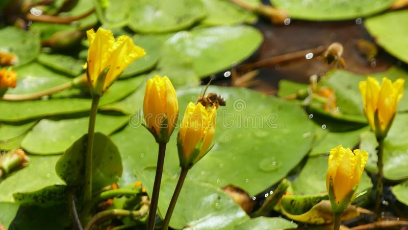 Nuphar Lutea or yellow water lilies with wasp landing and splashing water droplets. Nuphar Lutea water lilies with brandy bottle yellow flower with a stock images