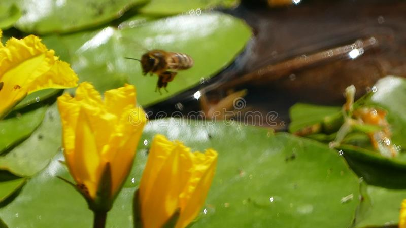 Nuphar Lutea or yellow water lilies with wasp landing and splashing water droplets. Nuphar Lutea water lilies with brandy bottle yellow flower with a royalty free stock photo
