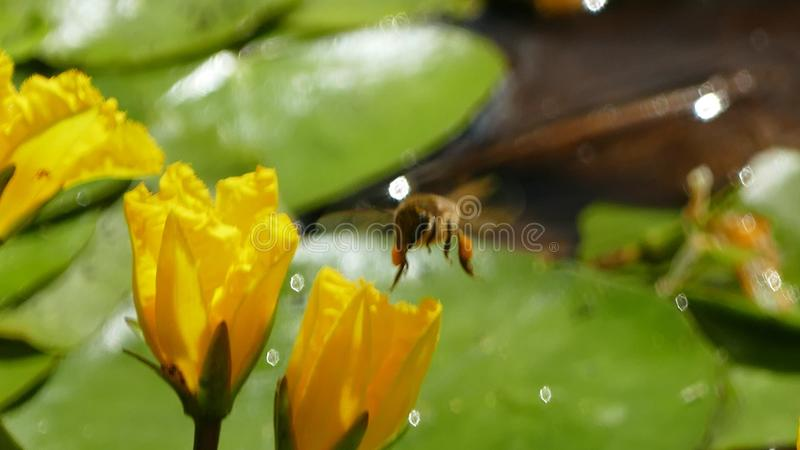 Nuphar Lutea or yellow water lilies with wasp landing and splashing water droplets. Nuphar Lutea water lilies with brandy bottle yellow flower with a royalty free stock photography
