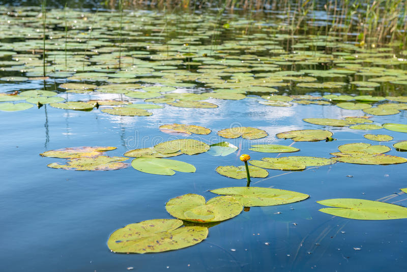 Nuphar lutea yellow water Lily in the water of the lake stock photos