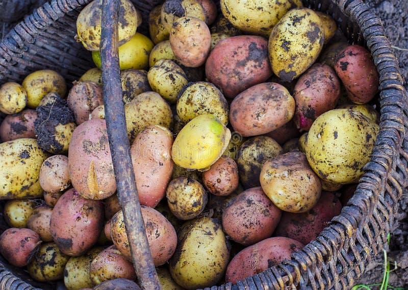 Nur das grub Kartoffeln in einem Korb stockfotos