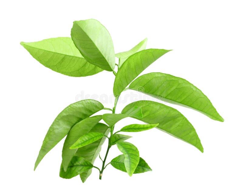 Niederlassung des Zitrusfruchtbaums mit grünem Blatt stockfoto