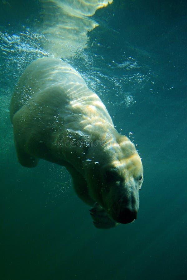 nurek arktycznego obraz royalty free