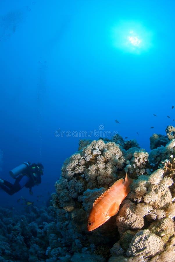 nurek czerwonym rafa ryb obrazy stock