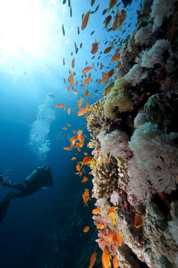 nurka koralowy ocean obraz stock