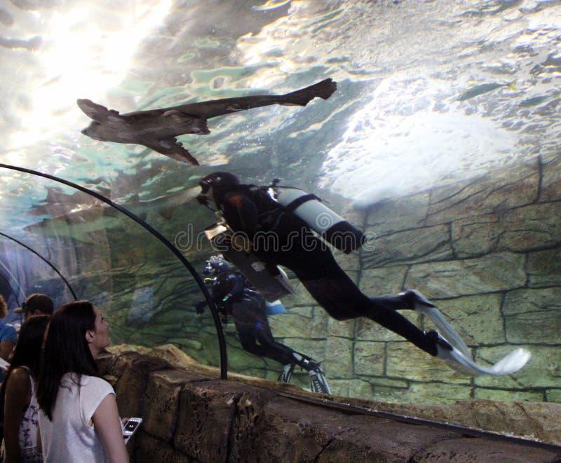 Nurkowie i rekiny obraz royalty free