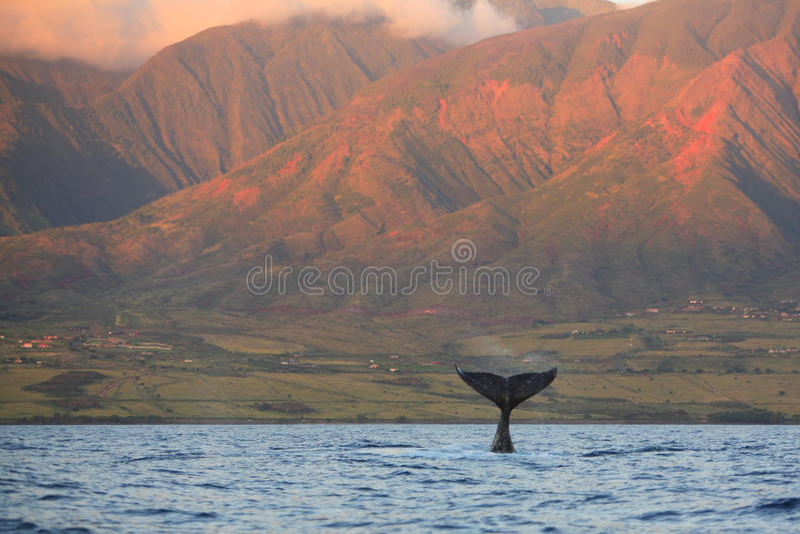 nurkowy fuksa humpback wieloryb obraz stock