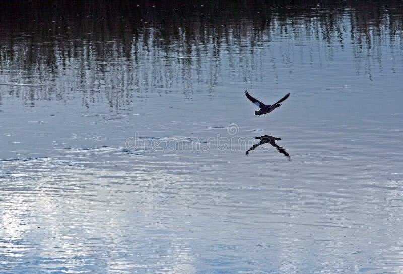 Nurkuje latającą depresję nad bighorn rzeką blisko Thermopolis Wyoming obraz royalty free