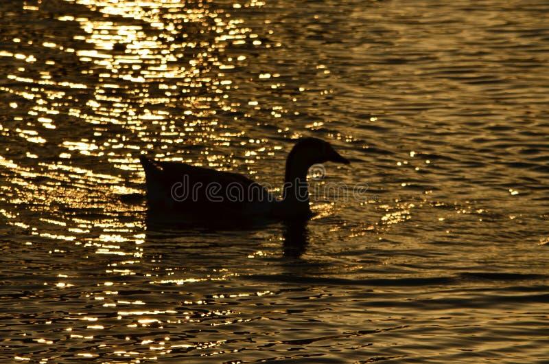Nurkuje pływanie w ranku w stawie zdjęcie stock