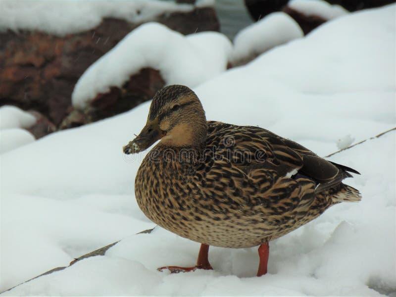 Nurkuje w śniegu, przy Jeziornym Balaton obraz royalty free