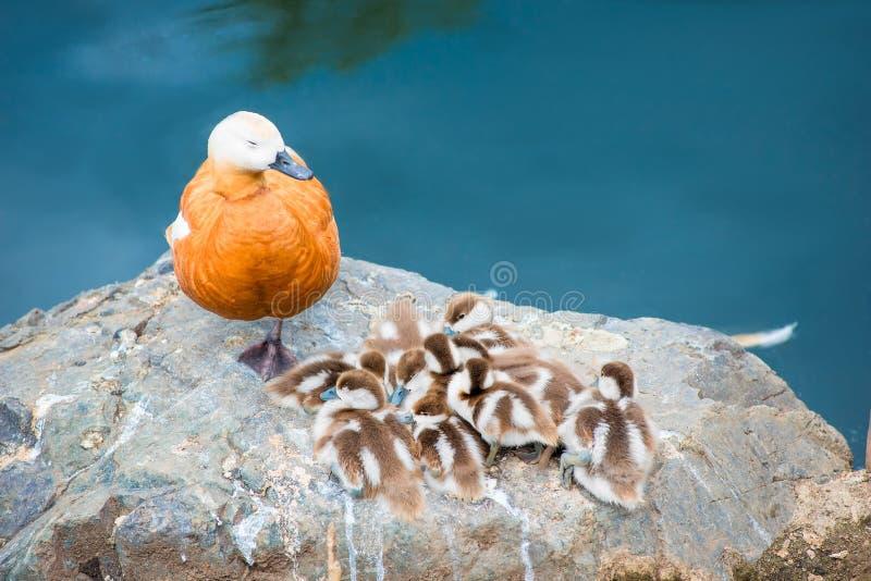Nurkuje z małymi kaczątkami gniazduje na kamieniu zdjęcia royalty free