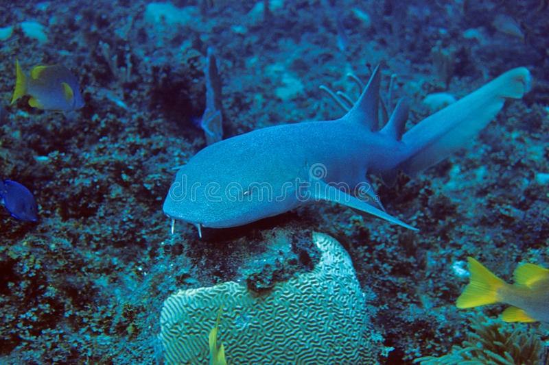 Nurse Shark. Caribbean Nurse Shark underwater, Cuba royalty free stock image
