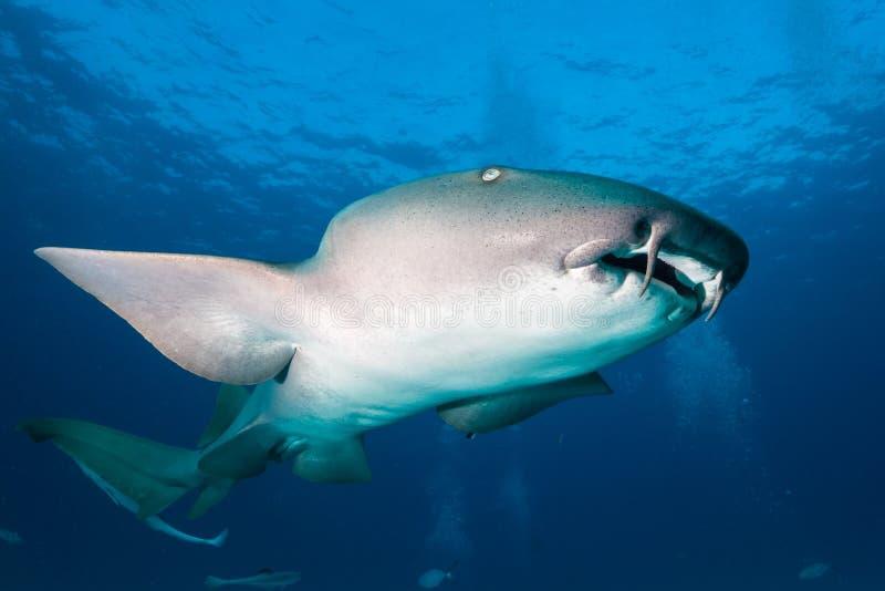 Nurse shark bahamas bimini stock photography