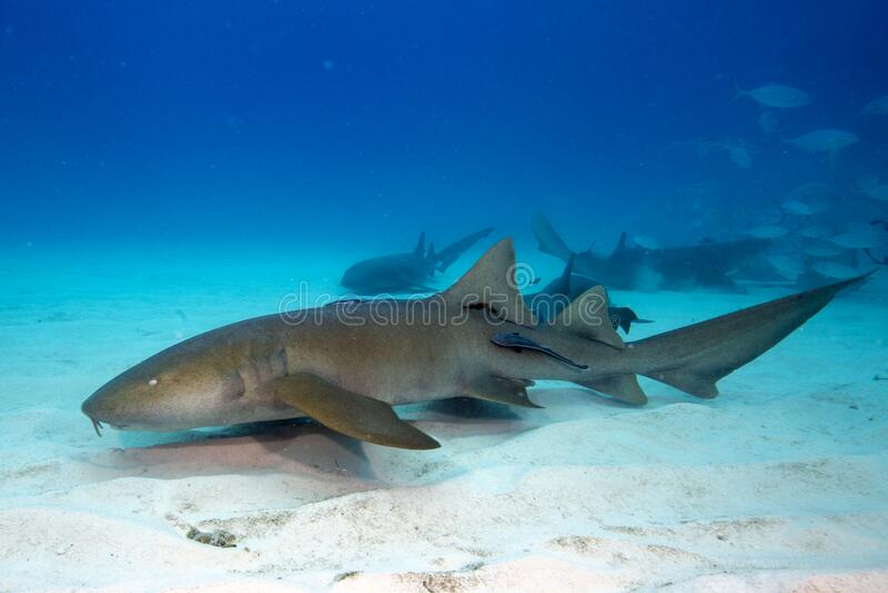 Nurse shark. Under water  in Bimini, Bahamas royalty free stock image
