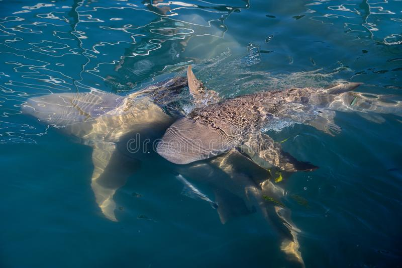Nurse Sharks. Nurse shark, family Ginglymostomatidae, common name for any shark in the family Ginglymostomatidae, which is made up of the genera Ginglymostoma royalty free stock photos