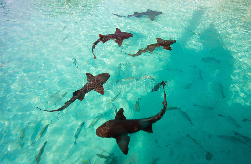 Nurse sharks. Swimming in tropical ocean water royalty free stock images