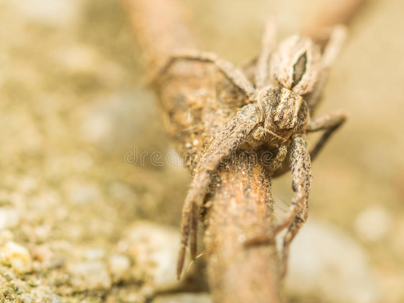 Download Nursery Web Spider Stock Photo - Image: 26707750