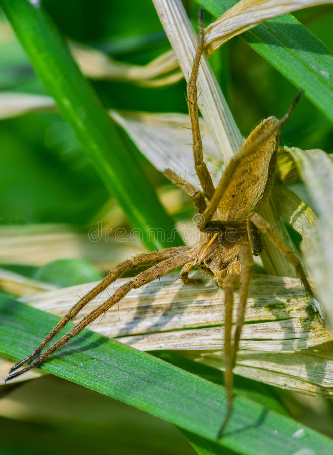 Nursery web spider close-up. A nursery web spider close-up royalty free stock photography