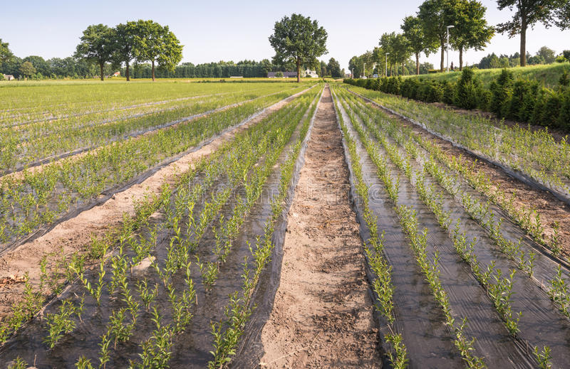 Download Nursery With Young Trees Growing From Cuttings Stock Image - Image: 32310223