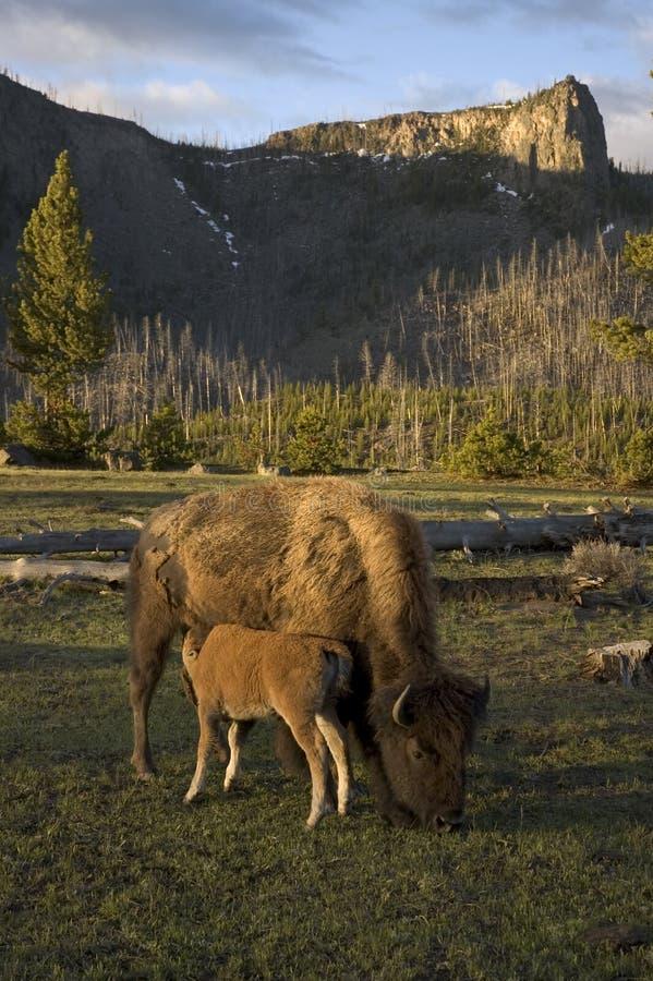 Nursing bison royalty free stock image