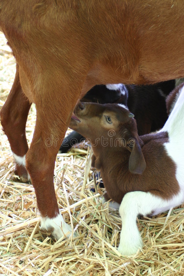 A Nursing Goat royalty free stock images