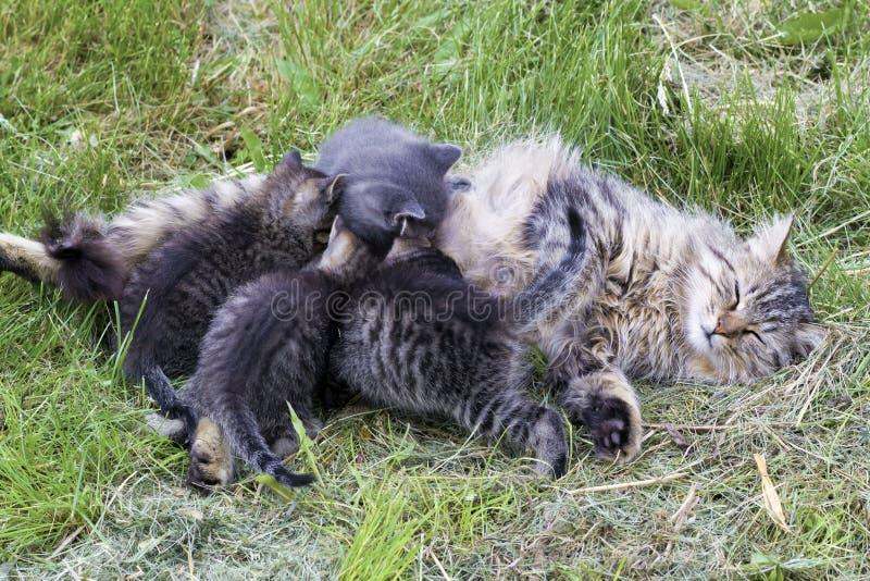 Nursing kittens royalty free stock image