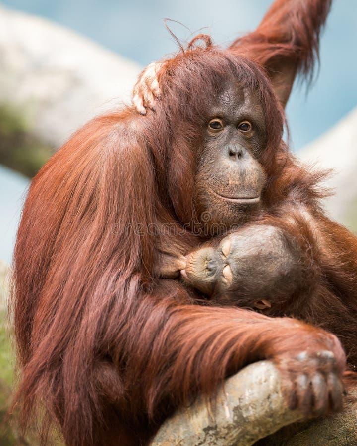 Download Nursing orangutan stock photo. Image of feeding, mother - 26615084